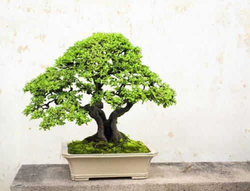 ¿Qué hacer con tu primer bonsái?