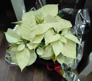 Flores de Pascua Sevilla, Flor de pascua